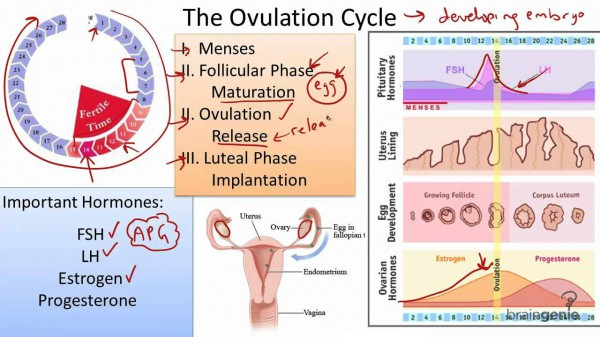 Hormone Replacement Therapy - Ovulation Cycle