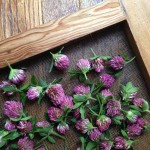 Cleanse Your Kidneys - Red Clover