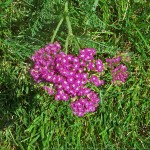 Cleanse Your Kidneys - Yarrow