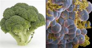 Foods That Look Like The Body Parts - Broccoli-Cells