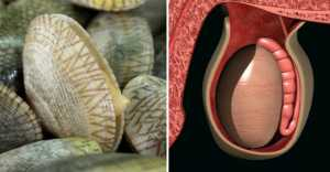 Foods That Look Like The Body Parts - Clams-Testicles