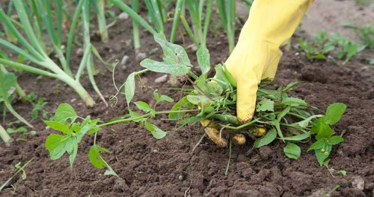 How to get rid of weeds naturally without killing grass for How to get rid of weeds in garden