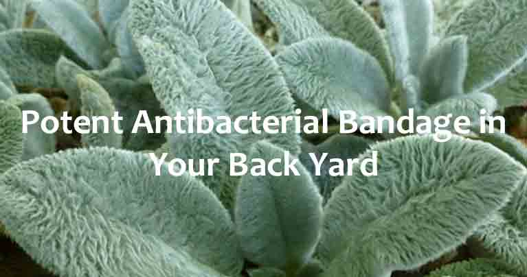 Lamb's Ears Grow a Potent Antibacterial Bandage in Your Back Yard