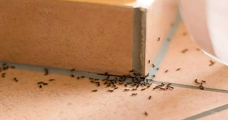 Prepare This Homemade Ant Repellent to Keep Ants Away from Your Home