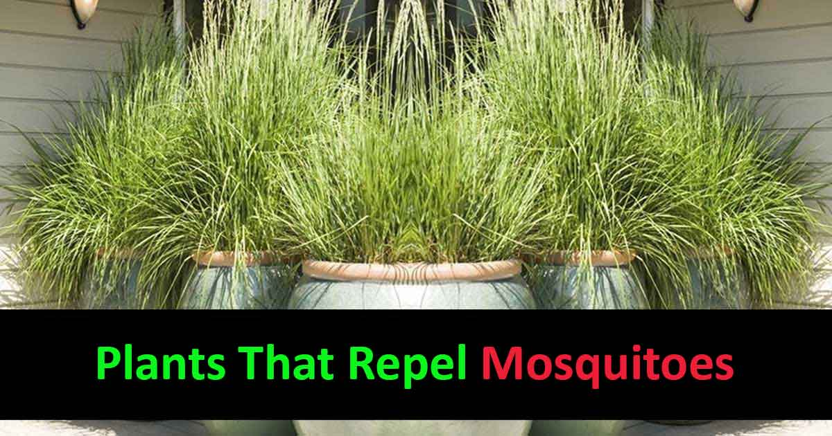 What Kind Of Plants Repel Mosquitoes