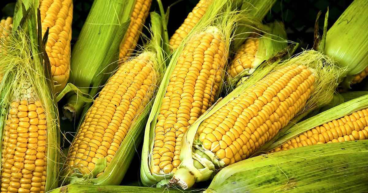 Why You Need to Stop Eating Corn Now!