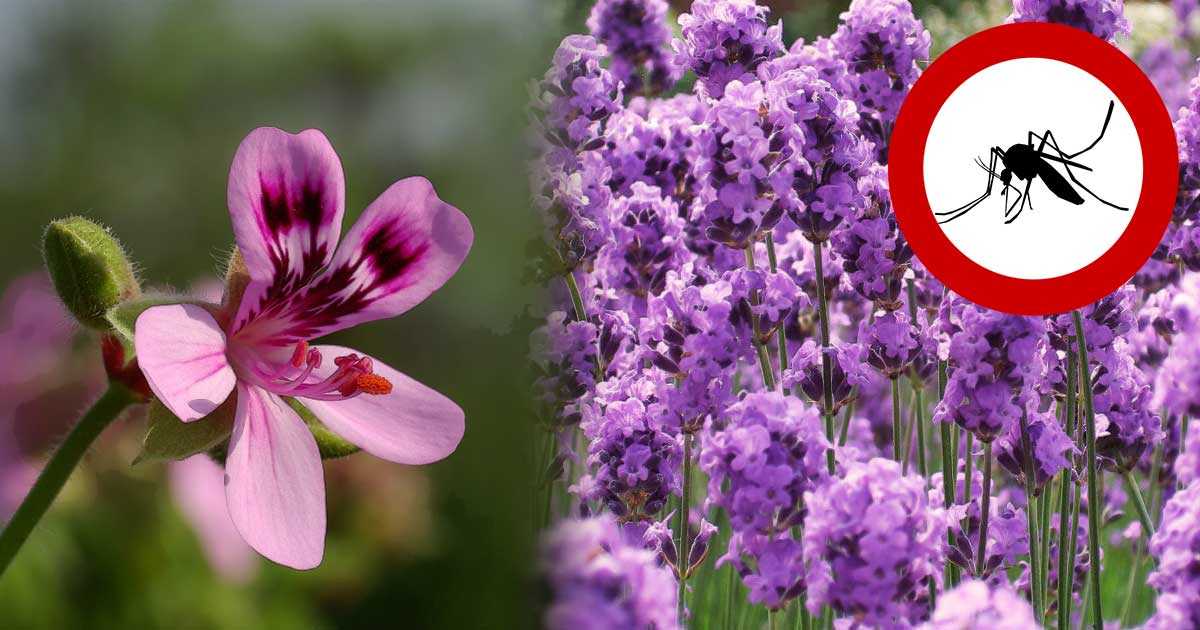 8 Wondrous Plants to Keep Mosquitoes Away!