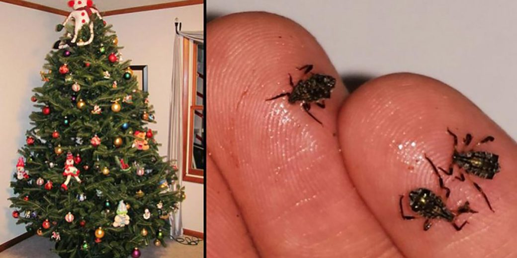 Your Living Christmas Tree Is Most Likely Crawling With Bugs